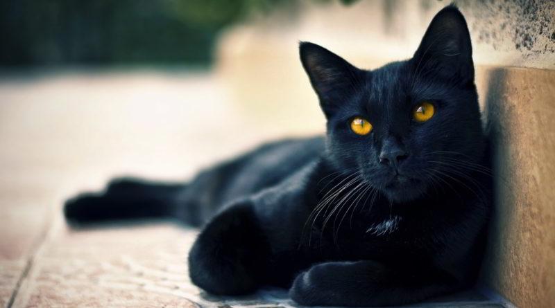 13 Razões Para Amar Um Gato Preto Goiânia