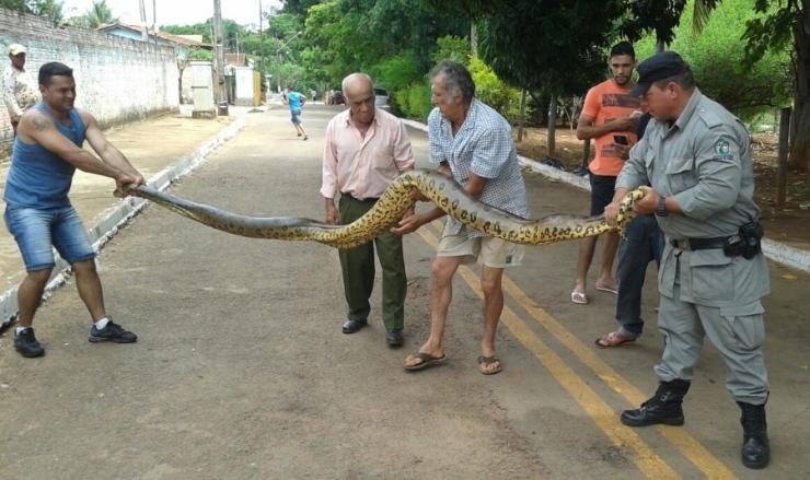 Sucuri gigante é encontrada e resgatada em rua de Goiânia