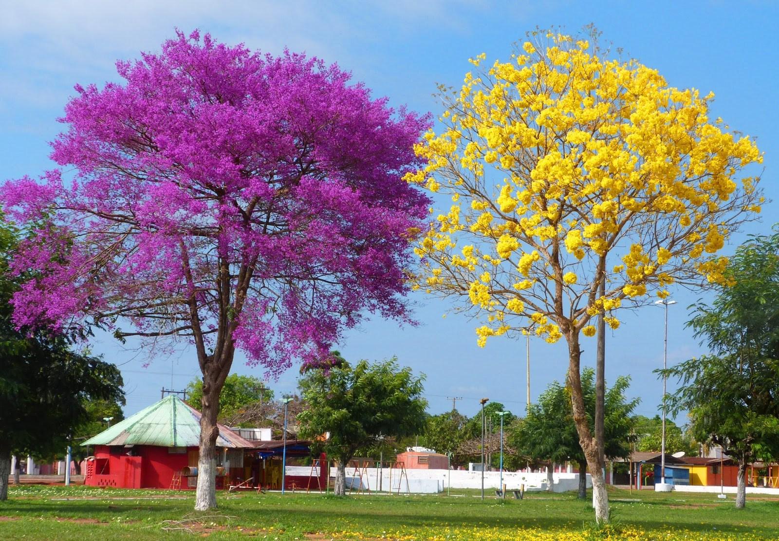 Super Cultivados desde 1970 os ipês do cerrado trazem vida a Brasília  ZR97