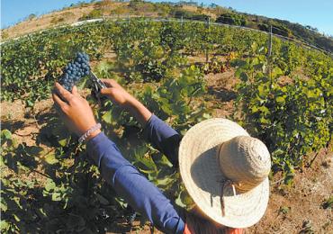 Vinícola de Goiás produz vinhos finos, premiados e com gostinho da Europa