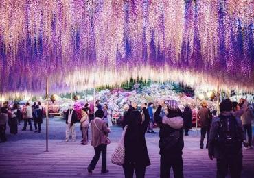 Segunda maior glicínia do mundo colore céu do Japão com tons de rosa e púrpura