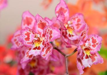 Aparecida recebe exposição de orquídeas com entrada gratuita