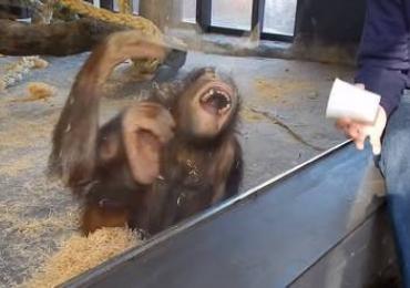 Orangotango cai na gargalhada com truque de mágica; assista ao vídeo