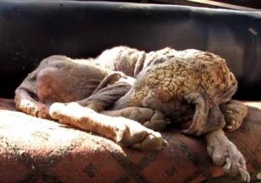 Cadela abandonada com sarna passa por transformação e fica irreconhecível; veja o vídeo