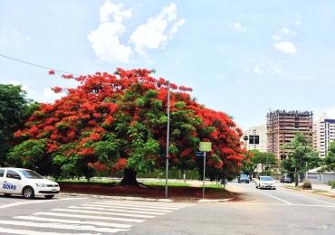Flamboyants: uma crônica de Rubem Alves