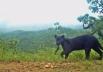 Pantera Negra do Cerrado é flagrada em imagem rara