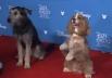 Oscar canino à vista? Protagonistas de 'A Dama e o Vagabundo' posam para fotos no red carpet da Disney