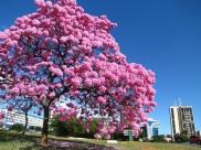 Brasília apresenta o Festival do Ipê na 202 sul