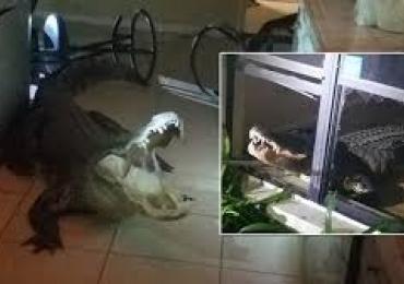 Jacaré de 3,5 metros invade casa de madrugada na Florida