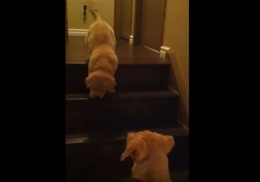 Labrador ensina filhote a descer escadas e o resultado é o vídeo mais fofo que você vai ver hoje