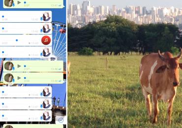 Boi interrompe conversa entre amigas em Goiânia e áudios divertem internautas