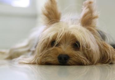 As 10 melhores raças de cachorro para quem mora em apartamento
