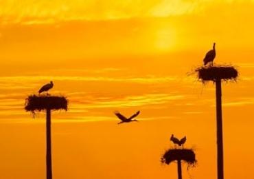 Cegonhas-brancas constroem seus ninhos nas alturas na Espanha