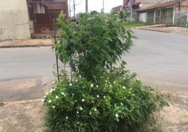 Moradores encontram pé de maconha plantado em rua de Brasília