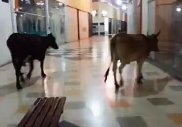 Vacas são flagradas passeando em shopping no interior de Minas Gerais; assista
