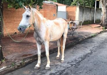Cavalo é encontrado perambulando pelas ruas do Setor Marista em Goiânia