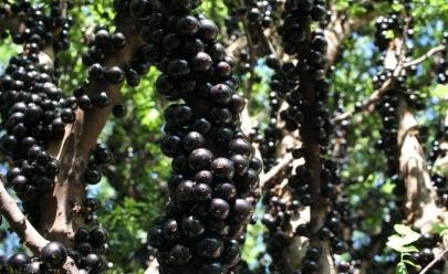 Maior fazenda de jabuticaba do mundo fica em Goiás e cobra R$ 30 para você comer a fruta à vontade