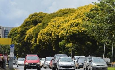 Conheça um pouco mais da árvore que está deixando Brasília amarela