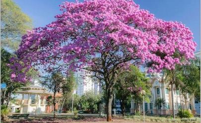 Ipês colorem Uberlândia e atraem cliques de admiradores, confira fotos