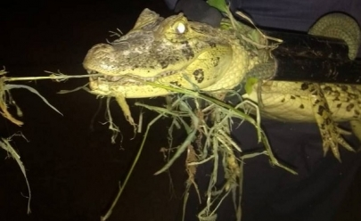 Jacaré é encontrado e capturado em rodovia de Uberaba