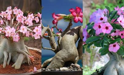IX Exposição de Orquídeas e Flor do Deserto acontece neste final de semana em Aparecida de Goiânia
