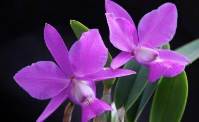 Bosque dos Buritis sedia encontro de colecionadores de Cattleyas do Cerrado