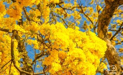 Ipê Amarelo marca o início da Primavera no Centro de Goiânia