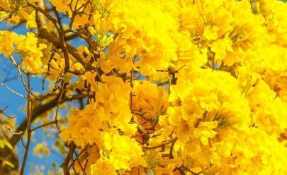Ipês florescem e antecipam a primavera em Goiânia