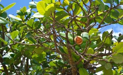 Pesquisa da UFG utiliza plantas do Cerrado no tratamento de doenças intestinais