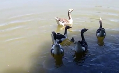 Vídeo flagra momento em que filhote de ganso é engolido por peixe no Parque Areião em Goiânia