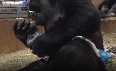 Mamãe gorila emociona funcionários de zoológico ao beijar filhote recém-nascido