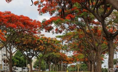 Flamboyants da Avenida Goiás Norte viram ponto turístico em Goiânia