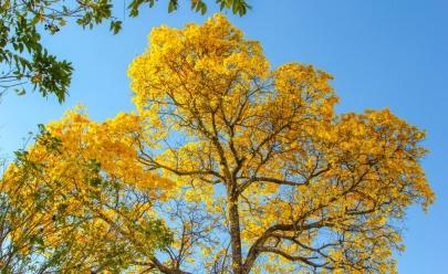 Em tempos de seca, Ipês colorem a paisagem de Goiânia