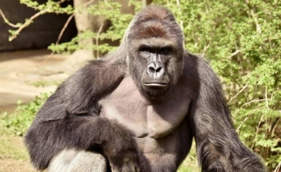 Gorila é morto após menino de 4 anos cair em jaula; assista ao vídeo