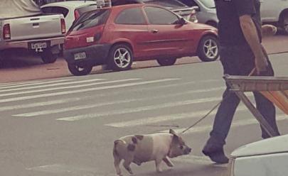 Homem é flagrado andando com um porco de estimação em rua de Goiânia