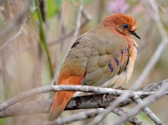 Minas Gerais abriga pássaro considerado extinto e uma das espécies mais raras e ameaçadas do planeta