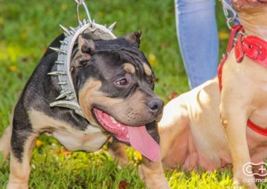 Encontro de cães da raça American Bully de Goiás